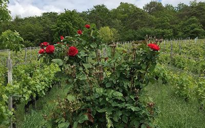 Roses in the vineyard: Beautiful and really useful