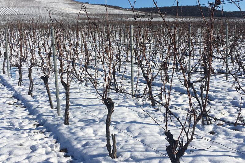 Der Winter im Weinberg